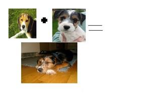 Beagle + Jack Russell Terrier = Franklin